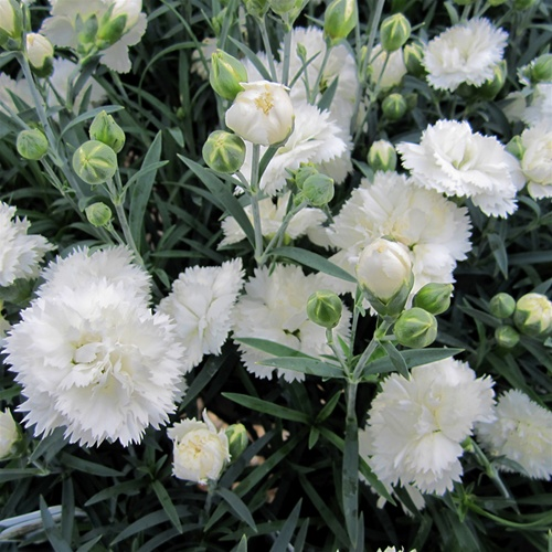 Dianthus Early Bird Frosty