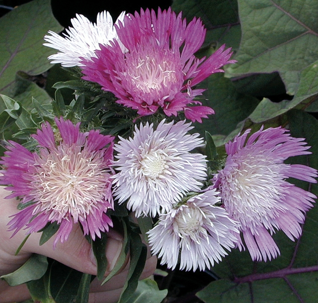 stokesia colorwheel 1