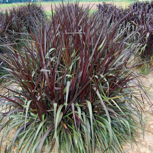 pennisetum_royal_lady