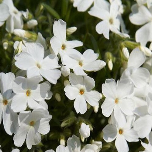 PHLOX SUBULATA WHITE DELIGHT
