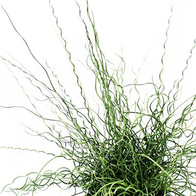 Juncus effusus 'Big Twister' (Giant Corkscrew Rush, spiral rush)